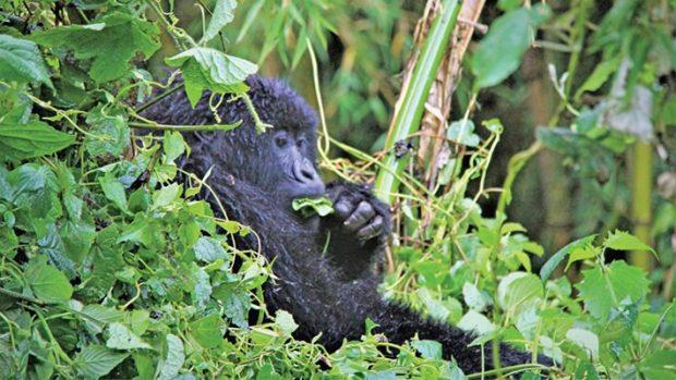Virtual Gorilla Tours in Rwanda