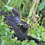Rwanda Unveils Virtual Tours to See Mountain Gorillas