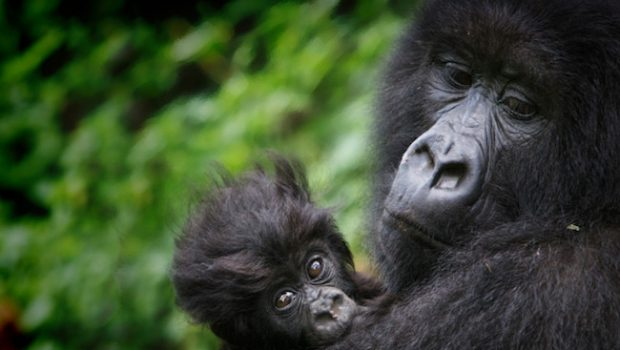 What makes the Virunga Mountains a unique wildlife gem?