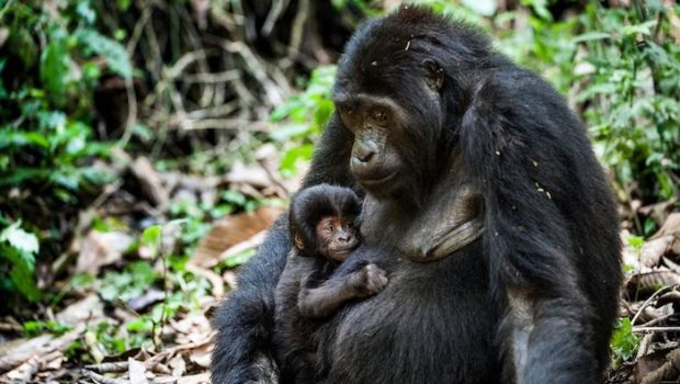 Gorilla safaris in Uganda and Rwanda back on track as primate parks are reopened for tourism