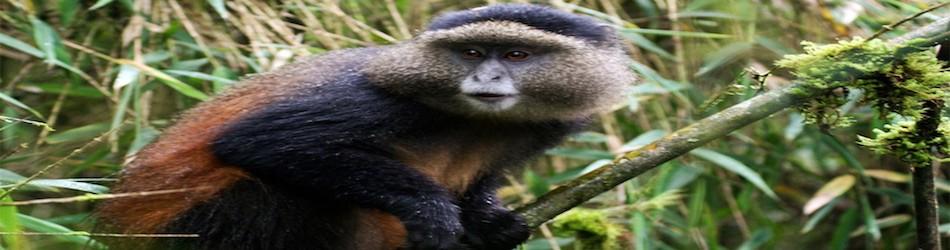 golden monkeys in volcanos national park