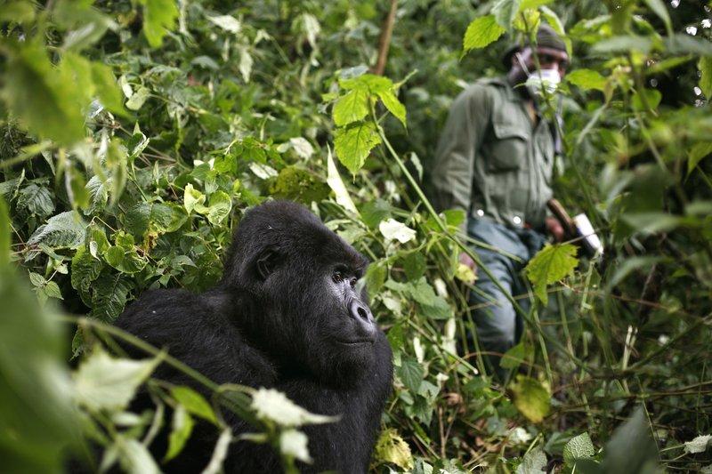 Trekking gorillas during Covid-19 times