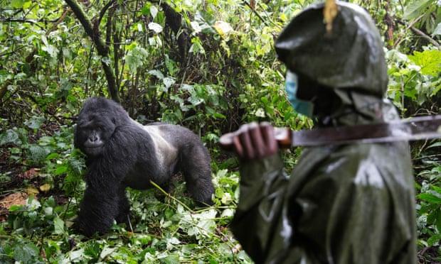 visiting gorillas during covid-19 pandemic