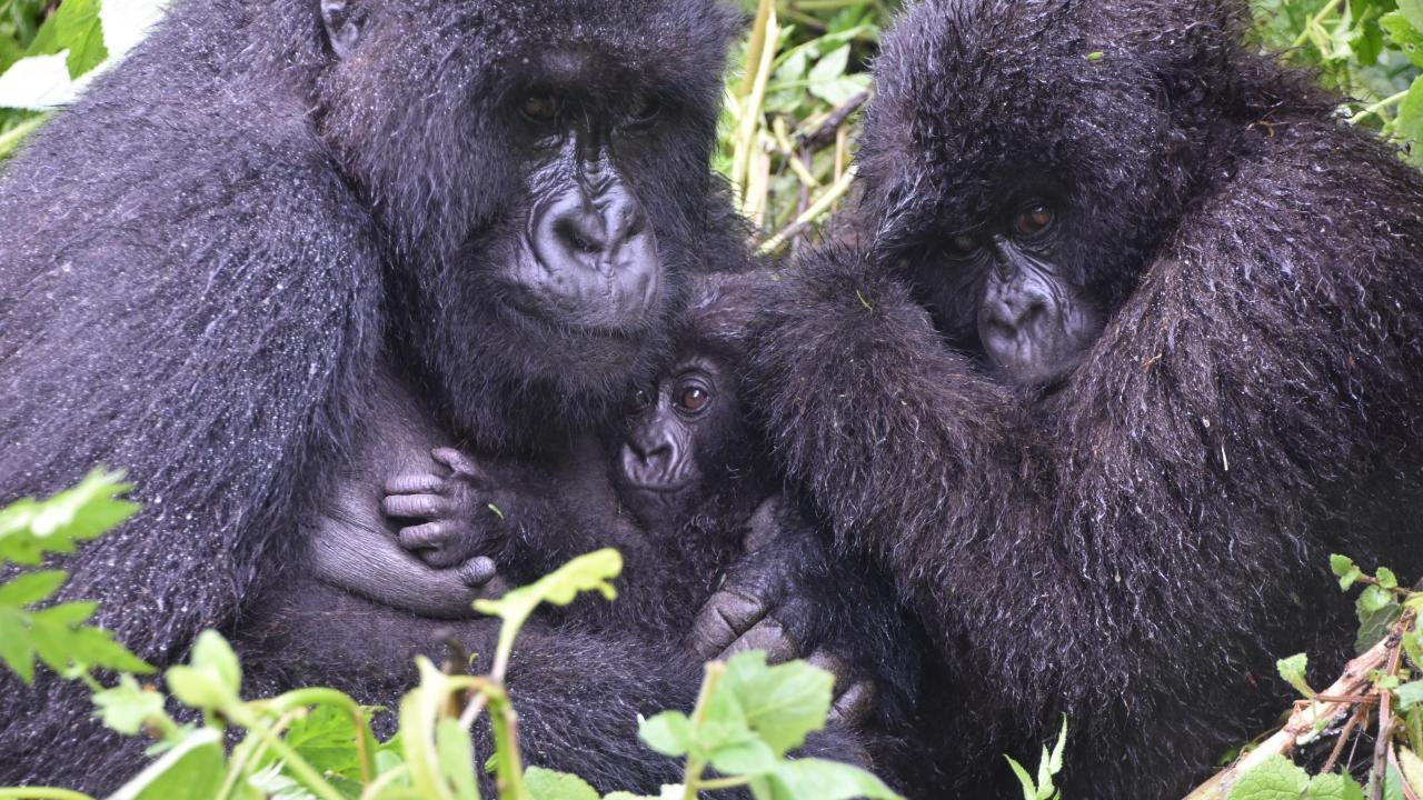 Gorillas in Uganda and Rwanda